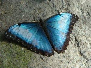 gossamer butterfly
